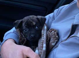 Frenchie/ pug