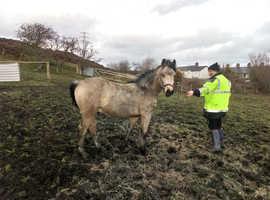 *** The showman *** Stunning buckskin colt!!!!