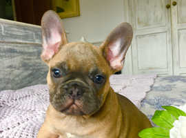 Male blue fawn French bulldog