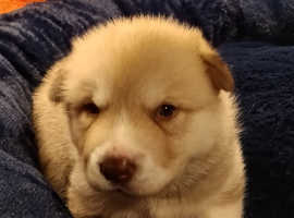We have 2 chunky,fluffy malamute/husky boys available.