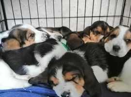 Beautiful Bassetts looking for new homes