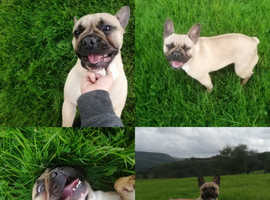 For sale/re-home French bulldog girl
