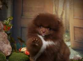 Extra Luxurious Chocolate and white KC boy 'Baloo Bear'