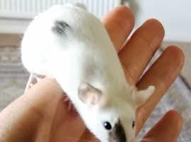 3 Male mice