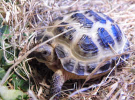 Garden tortoises Horsfields from Bridgwater