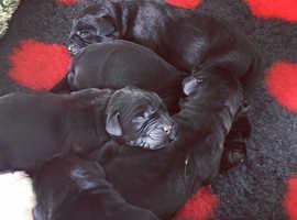 Gorgeous black lab puppies!