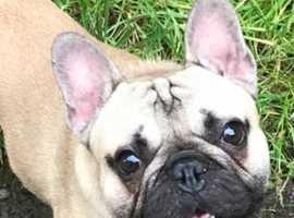 French bulldog for stud