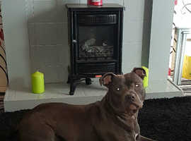 Blue male staffy for stud