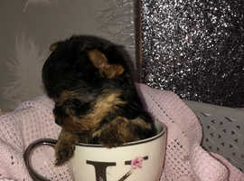 Beautiful Yorkshire terrier puppy girls ready now