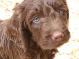 Beautiful cockerpoos for sale