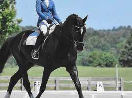 18.1 Irish Sport Horse