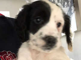 Cocker spaniel dog pup READY NEXT WEEK