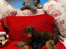 Miniature dachshund x Chihuahua