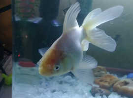 X1 white fantail goldfish x1 gold fish