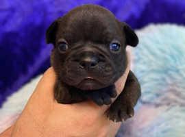 French bulldog kc puppies stunning Black boy Frenchie