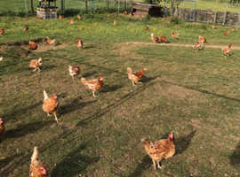 12 month old red hens warren chickens great layers
