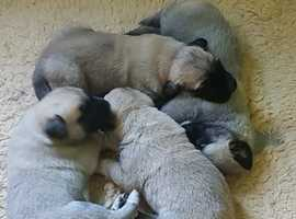 Anatolian Shepherd Dog Puppies for Sale