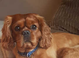 Ruby cavalier king charles for stud kc reg