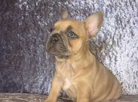 Top quality frenchies 1 girl  left