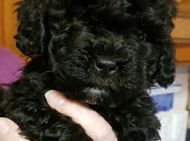 shih-poo pups for sale