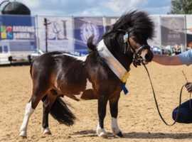 Miniature Shetland colt/stallion