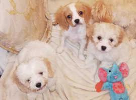 3 beautiful cavapoo puppies