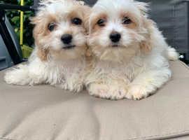 2 beautiful cavapoo girls Available