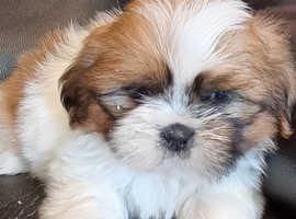 1 Girls 1 Boy Shih Tzu x Bichon Puppies £1350
