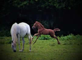 Tall, handsome Arab foal