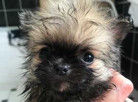 Pomchi Puppies
