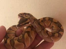Various Pythons