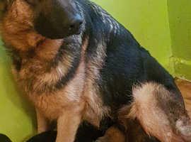 German shepherd ready female!!