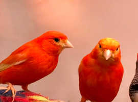 Stunning Red Canaries For Sale