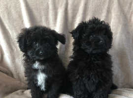 Shih Tzu X poodle vaccinated ready now