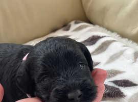 Beautiful miniature schnoodle puppies