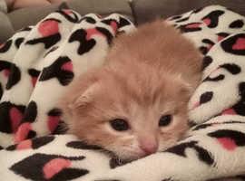 Lovely 2 British Longhair kittens