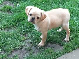 rare colour pugalier female for sale