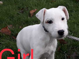 Parsons Russell pup last girl CALLS ONLY : NO MESSAGES OR EMAILS