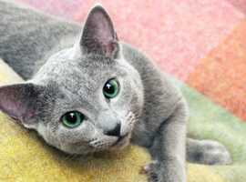 **Wanted! Male Russian blue to rehome to a loving family**