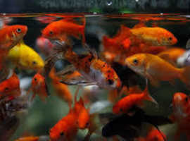 "Assorted Goldfish 1"" To 10"" Other pond fish available koi /grass carp + Much More"