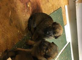 Germanshepard pups