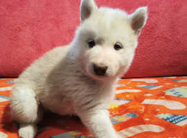 1 Beautiful Husky x Malamute pup for sale ( Female )