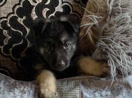 Boy German shepherd puppy