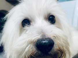 Adult dog  1 year old Coton De Tulear