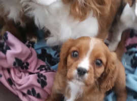 Beautiful cavalier king Charles puppies