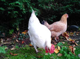 Three Friendly Laying Hens