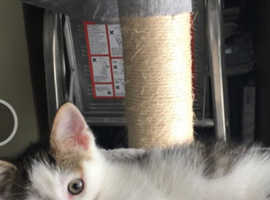 Last stunning boy kitten