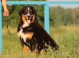 Bernese Mountain Dog  - young male FCI
