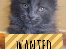 Wanted -  maine coon kitten