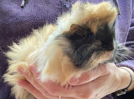 Baby Guinea Pig - Male